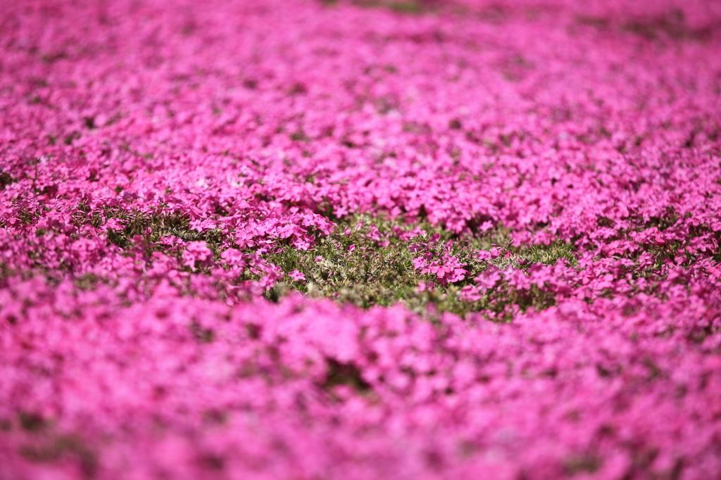 ピンクの絨毯