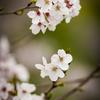足比奇乃 山櫻花
