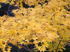 黄葉(こうよう)
