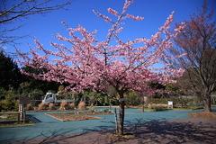 河津桜(小田原フラワーガーデン)