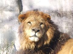 多摩のライオン