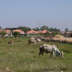 Cows (Khon Kaen)