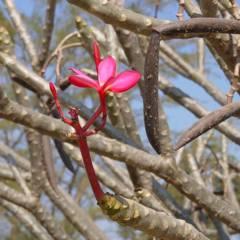 Red flower (Khon Kaen)