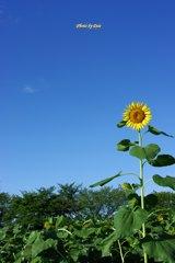 耐えた向日葵