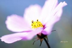 小春日和の秋桜
