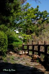 サカツラガンの居る公園