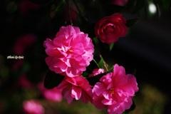 山茶花たち