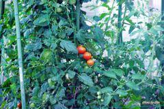 食べごろトマト