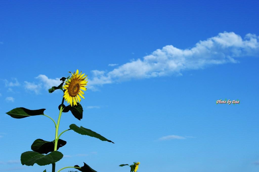 空と雲と向日葵と(その2)