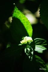 日浴びる紫陽花