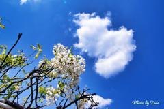 雲とシロバナフジ