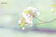 桜を色鉛筆処理で・・・