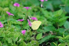 カタバミと蝶(その3)