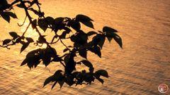 夕焼け小焼けと桜の葉