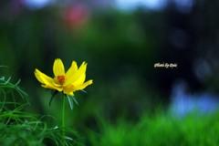 早咲きの黄色い秋桜