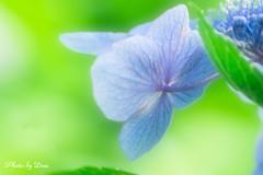 後ろから紫陽花