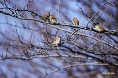 桜の枝に止まる雀