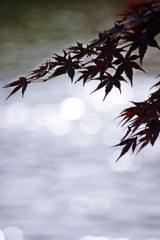 水の上の椛