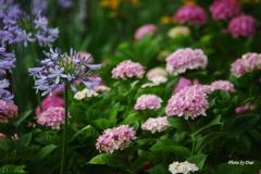 アガパンサスと紫陽花