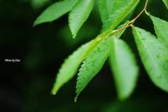 雨滴と緑葉