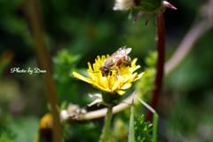 蒲公英とミツバチ