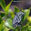 今年の初撮りアゲハ蝶