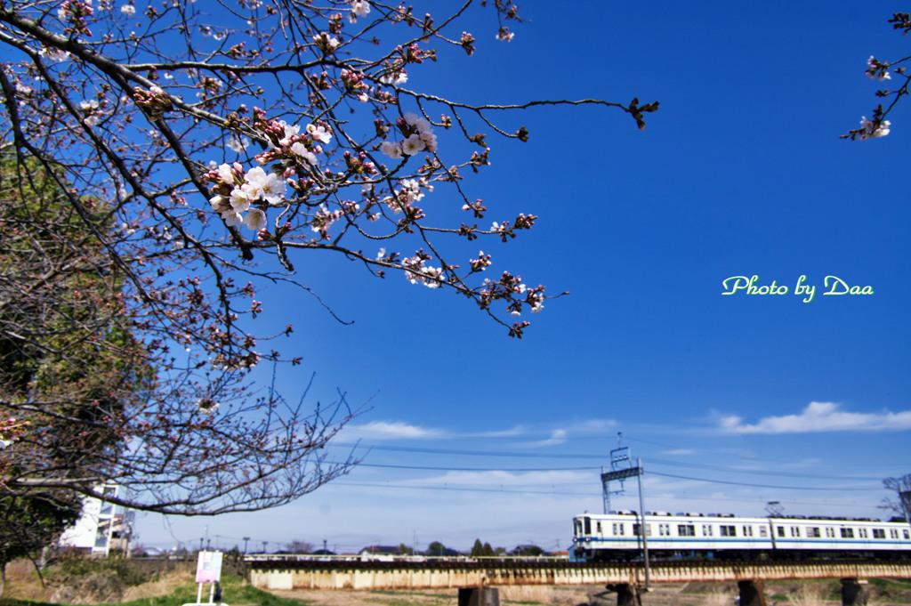 咲き始めと野田線