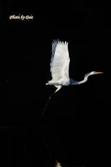白鷺飛ぶ2