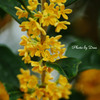 香る金木犀 Ⅰ