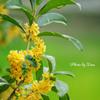 香る金木犀 Ⅱ