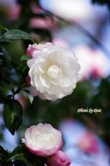 山茶花(その2)