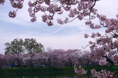 桜の間から