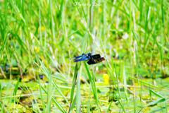 蝶蜻蛉 つがい
