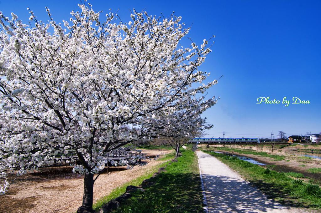 満開山桜と野田線