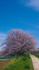 桜の木と空と