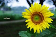 可憐な向日葵