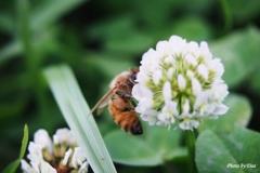 ミツバチ~お仕事