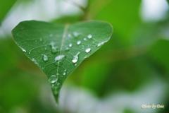 雨、緑葉に付く