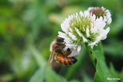 ミツバチ~せっせ