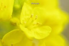 白菜の花1