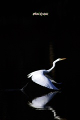 白鷺飛ぶ1