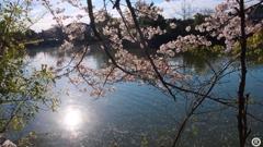朝日と桜と池(横)
