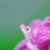 水滴と紫陽花