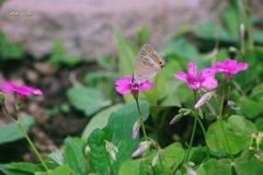 カタバミと蝶(その2)