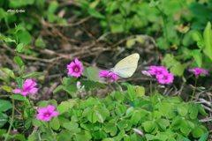 カタバミと蝶(その1)