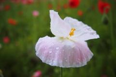 小雨の中の淡い白