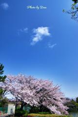 桜とぽっかり白い雲