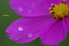 秋桜の涙4