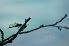 夏・・・蜻蛉