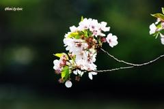 桜の画像処理前
